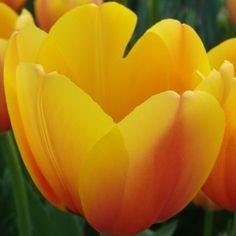 Tulip World Peace Bulb Flowers, Flower Vases, Red Flowers, Bulbous Plants, Tulip Bulbs, Most Beautiful Flowers, World Peace, Tulips, Lily