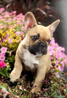 Oh, sweet baby! Frenchie surrounded by flowers