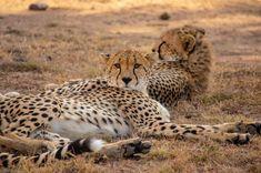 #cheetahs #bigcats #wildlife #massaimara #kenya Vivien Markey (@markeyvivien) • Instagram photos and videos