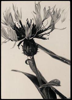 Acentauria mochata by Aenne Biermann Fine Art Photo, Photo Art, Florence Henri, New Objectivity, Female Eyes, Claude Monet, Trees To Plant, Art Drawings, Vogue