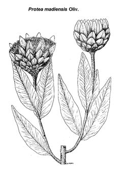 sketch protea - Google Search
