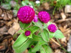 Gomphrena 'Buddy Purple' - annuals.