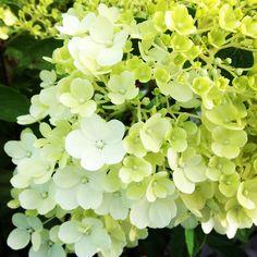 Hydrangea Paniculata Bobo Hydrangea Paniculata, Fruit, Plants, Shrubs, Planters, Plant, Planting
