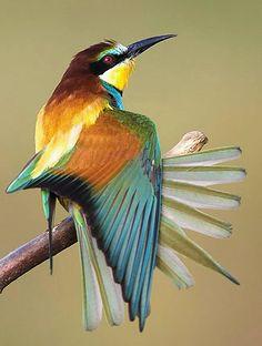 European Bee-eater   ..rh