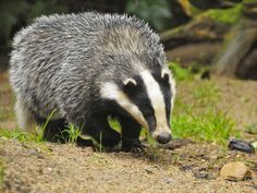 Crime gangs selling badgers for up to for baiting with dogs, fuelling high-stakes gambling Controversial cull feared to be fuelling secretive practice of setting the nocturnal animals on to dogs Baby Badger, Honey Badger, Nocturnal Animals, Farm Animals, Wild Animals, Badger Images, Fox Images, Pictures Images, Photos