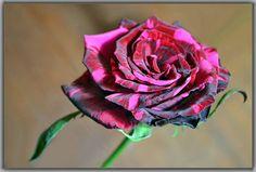 purple velvet of rose