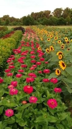 Zinnia Garden, Cut Flower Garden, Beautiful Flowers Garden, Cut Garden, Flower Garden Plans, Easy Garden, Summer Garden, Herb Garden, Vegetable Garden