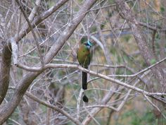 After many months of seeing only a different variety, a Blue Crowned Motmot returns to Pueblo Verde.