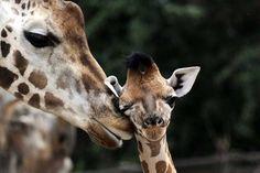 Existem quatro espécies de girafa que tem aparência muito semelhante, suas diferenças genéticas são tão grandes quanto as existentes entre os ursos-pardos e os ursos-polares