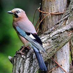 Vlaamse gaai Most Beautiful Birds, Pretty Birds, Love Birds, Exotic Birds, Colorful Birds, Beautiful Creatures, Animals Beautiful, Parus Major, Jay Bird