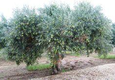 """Albero d'oliva del tipo """"Nocellara del Belice""""."""