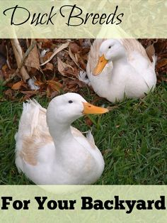 """Check out some of the best duck breeds for your backyard farm! They say that ducks are the """"new chickens"""" - it seems backyard farmers all over the country"""