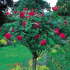 David Austin English Tree Rose: L. D. Braithwaite David Austin English Roses http://www.amazon.com/dp/B00PHP64Z8/ref=cm_sw_r_pi_dp_ALUyub1CEY7NX