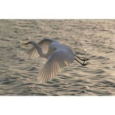 Egret Flying at Dusk, Giclee, Photography