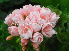 Tulpengeranien-Emma från Bengtsbo. Diese Tulpenpelargonie ist eine meiner Lieblingspelargonien. Ihre Tulpenblüten in lachsrosa sind einfach zu schön!