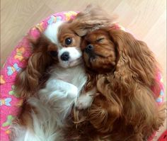"""Please stop snoring, it's every night!"" #dogs #pets #CavalierKingCharlesSpaniels facebook.com/sodoggonefunny"