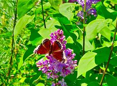 a Mourning Cloak Moth... just amazing.. it looked like his wings were edged with real gold ♥