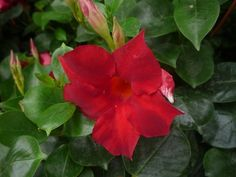 Dipladenia Rose, Flowers, Gardening, Gardens, Plants, Pink, Lawn And Garden, Roses, Royal Icing Flowers