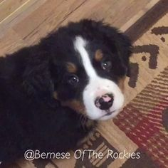 ♥️ If you love Berner Babies! ♥️ #berneseoftherockies