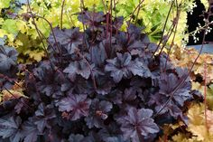 heuchera | View full size Courtesy of Terra Nova Nurseries Heuchera 'Obsidian'