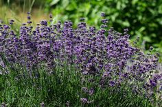 Munstead lavender - compact, long-lived, and cold hardy