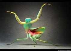 Posing Praying Mantis -- Giant Malaysian Shield Praying Mantis pictured in Igor's studio in Munich, Germany.