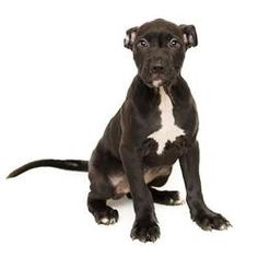 Pictures of Poppy a American Pit Bull Terrier for adoption in Adrian, MI who needs a loving home.
