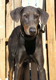 Blue Doberman