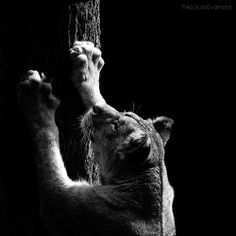 black and white photos made by Nicolas Evariste, a 26 years old photographer from Granville in Normandy (France), featuring a selection of beautiful Zoo animals.