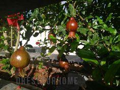 Dwarf pomegranate: h