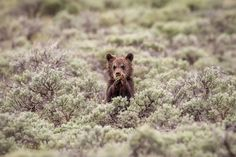A grizzly cub-of-the-year peeking up from his hiding place in a carpet of sage while enjoying some salad.