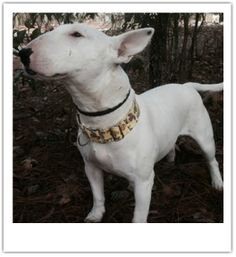 2yr old Georgia is ready for her forever home. Georgia has been spayed and updated on all vaccines. Georgia is HW neg. Very sweet girl, loves to give kisses and go for walks. - See more at: http://www.rcbtr.org/available-bull-terriers.html#sthash.yIIHHzgX.dpuf