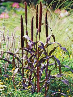 Purple Millet  This incredibly tough annual grass offers fantastic burgundy foliage and rich purple foliage that look like fuzzy cattails. The plants are beautiful and attract birds. Name: Pennisetum glaucum Growing Conditions: Full sun or part shade and well-drained soil Size: To 5 feet tall Zones: Annual Plant This Grass Because: It has rich purple foliage. Native to North America: No