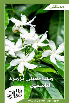 """يعود أصل تسمية الياسمين إلى اللغتين العربيّة والفارسيّة، وتعني """"هديّة من الله"""". تتكيّف الزهرة مع مختلف أنواع التربة، ويمكن أن تنبت داخل وخارج المنزل. ينتمي الياسمين إلى فئة النباتات المعرّشة، ويمكن أن نجعله يتسلّق على شكل عريشة، أو على إحدى شرفات المنزل، أو على السياج، ويمكن تقليمه على شكل شجيرة صغيرة."""