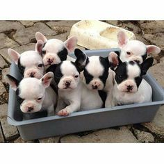 French Bulldog Puppies, Frenchies