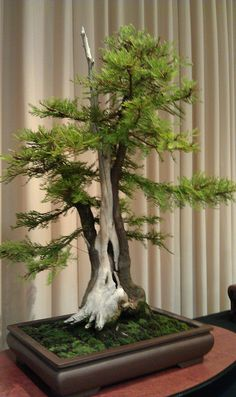 Bald cypress bonsai by Terry Gillespie 2003. Shari Bonsai style, Sharimiki. As time passes, some trees develop bald or barkless places on their trunks as a result of harsh weather conditions. The bald part usually begins at the place where the roots emerge from the ground, and grows increasingly thinner as it continues up the trunk. Intense sunlight will bleach these parts, forming a very characteristic part of the tree.