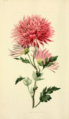 """https://flic.kr/p/adkXJq   n215_w1150   Flora conspicua London :Longman, Rees, Orme, Brown, and Green,1826. <a href=""""http://biodiversitylibrary.org/page/7372210"""" rel=""""nofollow"""">biodiversitylibrary.org/page/7372210</a>"""