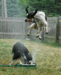 Love it! My Sophie (Springer Spaniel) jumps like this too.