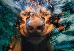 dogs in water 052561983-hunde-unter-wasser.jpg (600×420)