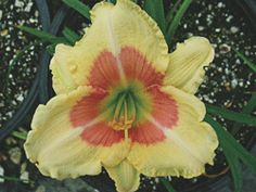 "DAYLILY  When My Sweetheart Returns  Hemerocallis 'When My Sweetheart Returns' PP13480  Height:	12-16""  Spread:	18-24""  Flowers:	."