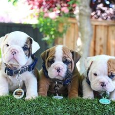 OMG the cutest Bullies☺ Source: worldofbulldog.tumblr.com #buldog