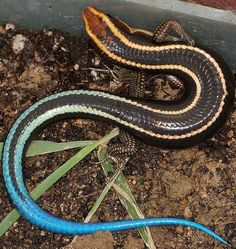The Blue-tailed skink (Eumeces quadrilineatus)   935481_425252950905826_353726217_n.jpg (605×640)