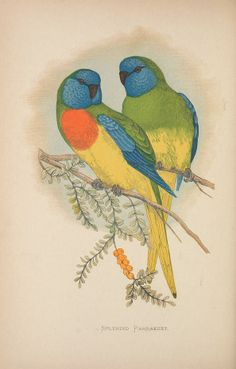 Splendid Parrakeet. Parrots in captivity v.1 London :George Bell and Sons,1884-1887 [i.e. 1883-1888] Biodiversitylibrary. Biodivlibrary. BHL. Biodiversity Heritage Library