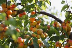 All About Self-Fertile Fruit Trees