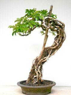 Schefflera root bonsai training