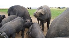Originating in England, the Large Black hogs were initially selected for bacon; they also have large hams. Identify them by their dark pigmented skin and large, dropping ears that nearly cover their face. Large Black Pig, Farm Animals, Animals And Pets, Marbled Meat, Pig Breeds, Pot Belly Pigs, Hobby Farms, Livestock, Mammals