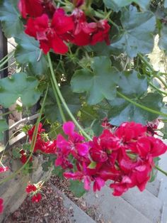geraniums that tumbled, scent of the leaves