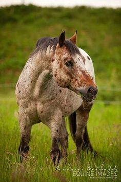 Image result for lemonsilla horse