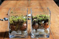 how to plant paperwhites in glass