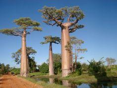 Baobab of apenbroodboom.   Bizar tree 5